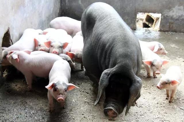 2020可能是中国猪业最好的一年!也将是猪价最高的一年
