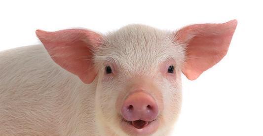 种公猪的选择:浅谈种公猪的饲养管理