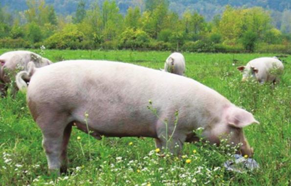 广东上月生猪平均收购价格趋于平稳,每公斤收购价为38元