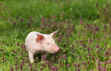 """1月3日全国生猪价格,进入""""飞涨""""时代,春节前能破20元吗?"""