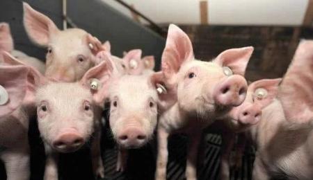 猪总是莫名的生病,查查是不是中了下面这些毒