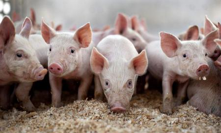 本周生猪价格以涨为主,下周或涨后微跌