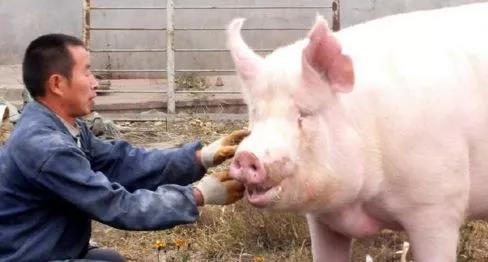 国家开始扶持家庭猪场!家庭农场或迎来创业高潮!