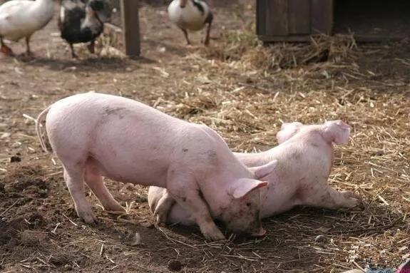"""养猪场中自配猪饲料的""""十大要素"""""""
