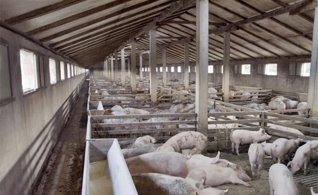 中国养猪业的四种养猪模式将发生重大改变