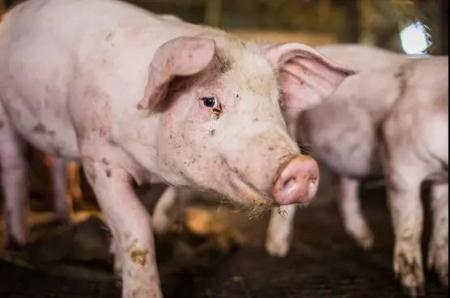 猪蓝耳病可怕?看看明尼苏达大学对普境安有何研究?