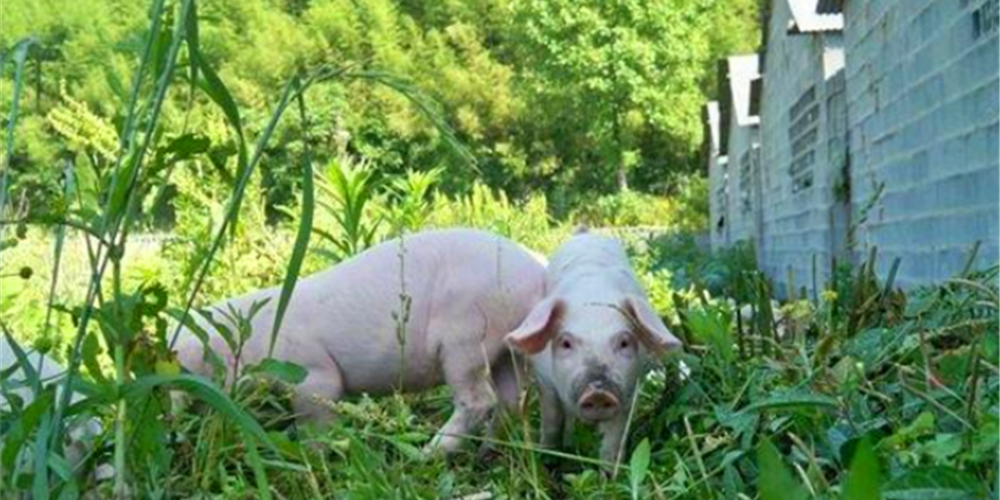 预计猪价将维持高位,专家提四大建议,保障今年养猪肯定能赚大钱!