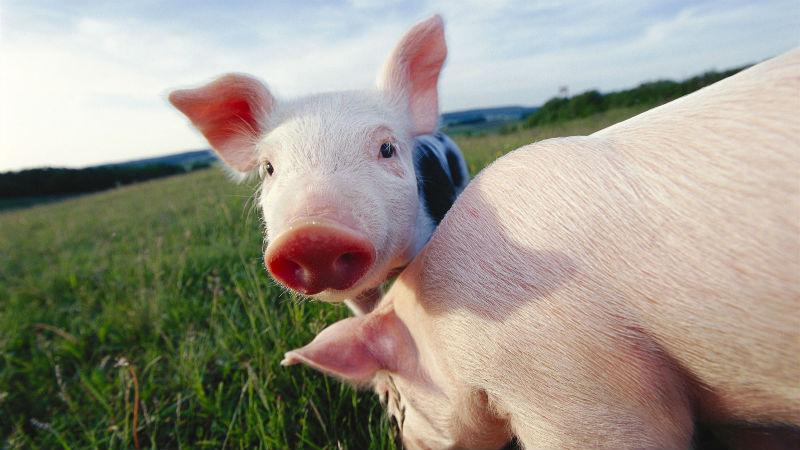 上市猪企涨超3400亿!这是怎样的猪周期