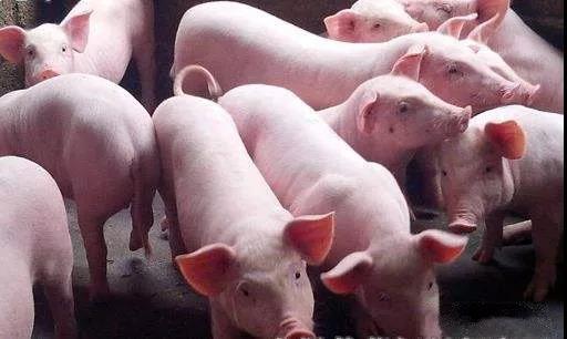猪突然死亡,母猪流产,是应激造成的吗?