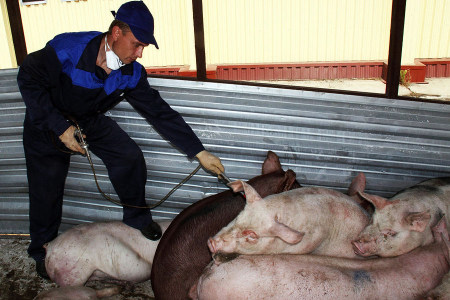 日本冲绳时隔约33年再次出现猪瘟疫情