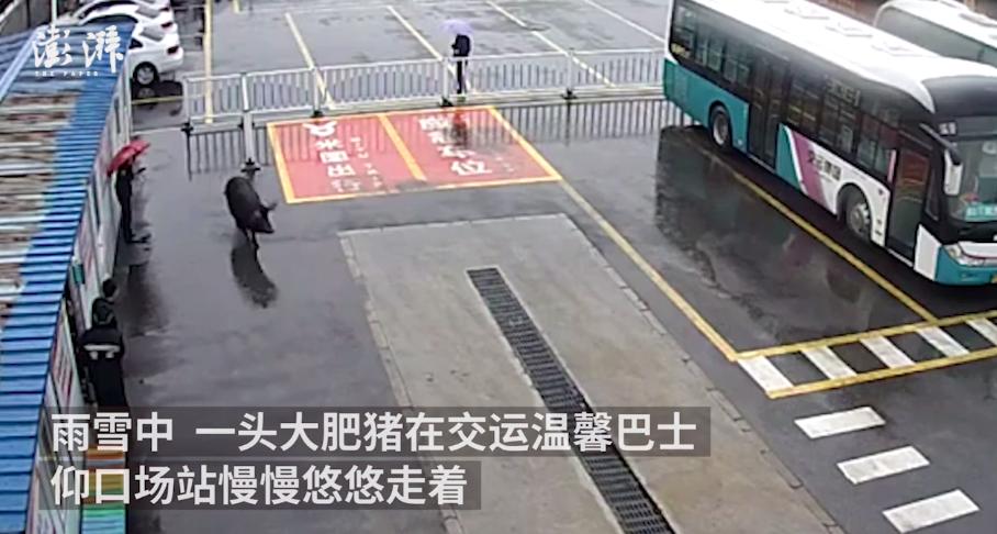 """300多斤大肥猪""""离家出走"""" 跑进公交场站""""串门"""""""