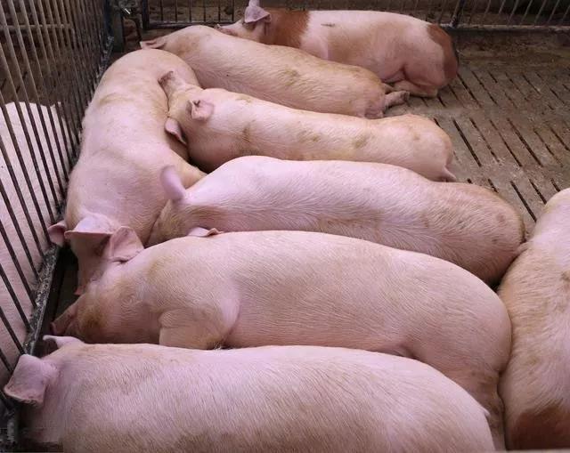 什么原因导致猪身上出现大量出血点?