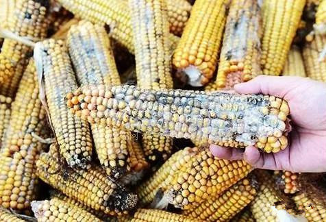 小麦替代玉米喂猪方法,有什么优点?连载一