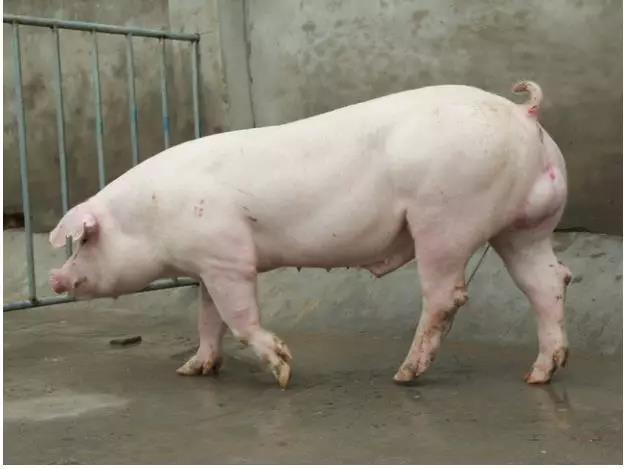 种公猪的种质特性和培育方式浅析