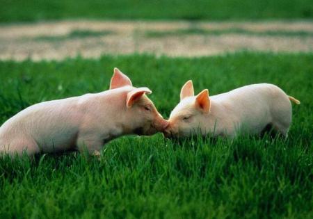 1月9日全国生猪价格内三元报价表,今日内三元呈现上涨态势,下跌省份仅3个!