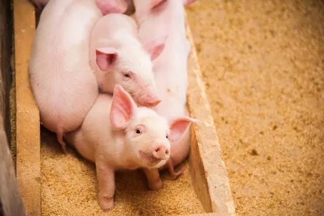 上市猪企面临估值困境,今年还能涨吗?