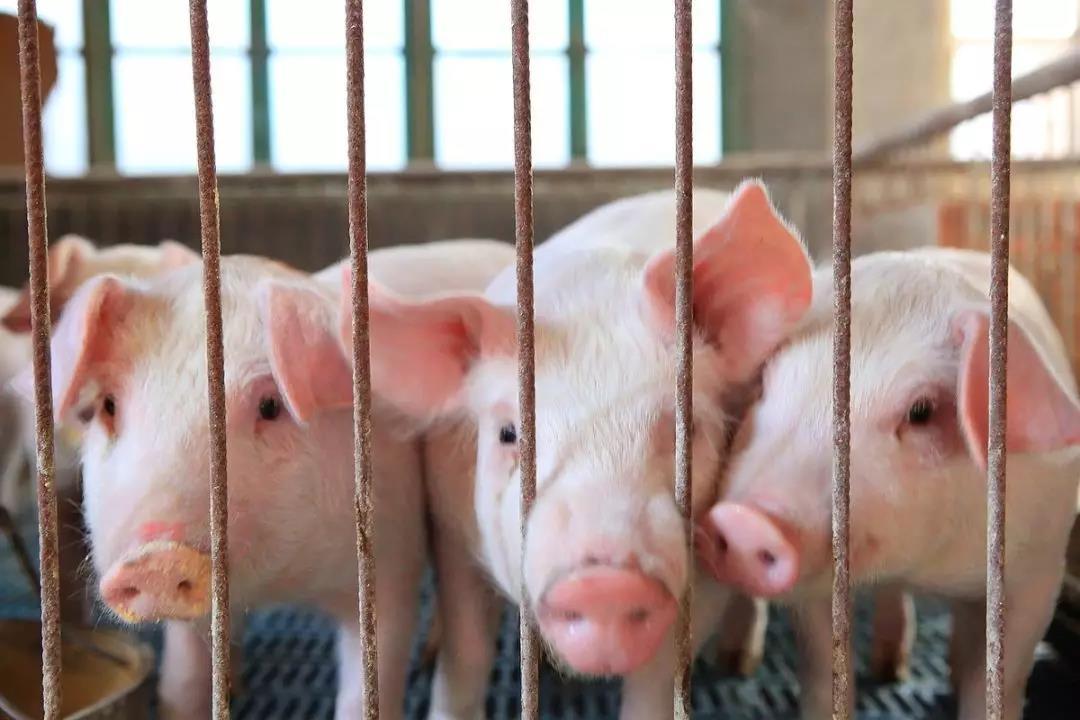 猪价涨幅收窄,春节期间还能涨吗?养殖户要如何把握出栏时间?