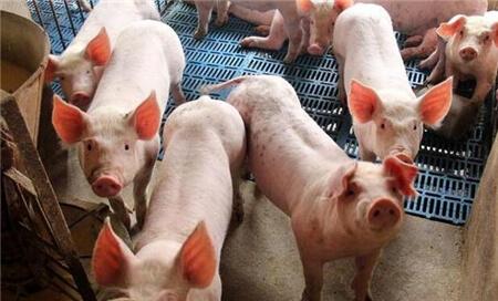 粥状料饲喂对仔猪生长性能的影响