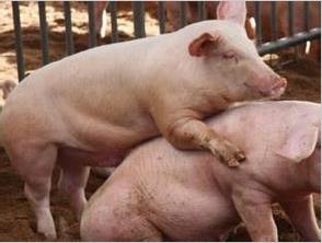 如何提高受胎率:母猪发情与最佳配种时间的鉴定