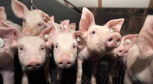 官方:猪价涨至36.6元/kg,养户惜售情绪渐浓16省肉价上涨