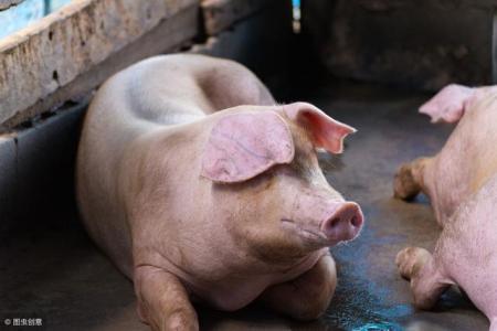 母猪预产期过了7天还没动静,老兽医教你如何避免仔猪死亡