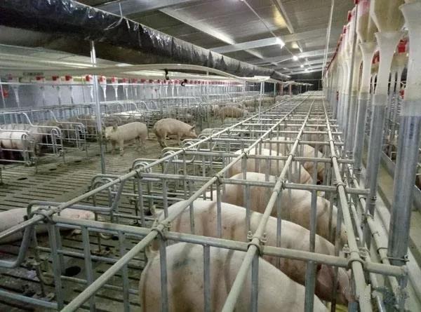 黑龙江省完成2019年度生猪生产任务