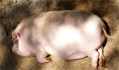 浙江省:衢江藏香猪供不应求一年销售500头
