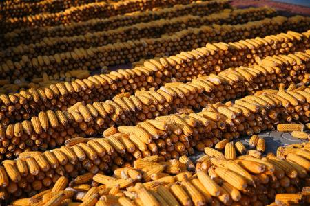 1月17日全国玉米价格行情表,玉米市场处于阶段性供大于求局面,玉米价格拐头向下回落!
