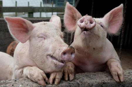 1月17日全国生猪价格土杂猪报价表,受市场因素的影响,今日土杂猪继续下调!
