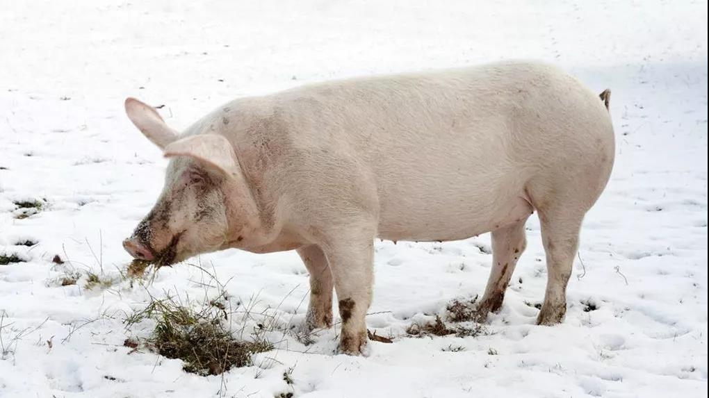 保障市场供应,南通市区生猪日备货量约一千头!