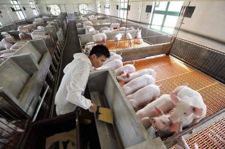 1月18日全国生猪价格土杂猪报价表,各地进入震荡调整态势,节后下跌风险增大