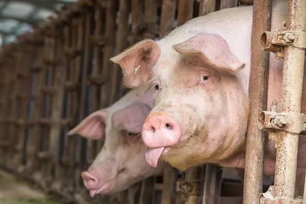 春节猪价或上涨,一定要严格控制猪病,减少不必要的损失!