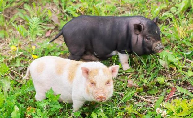 1月19日全国生猪价格报价,今日猪价强势反弹,北方涨势强劲