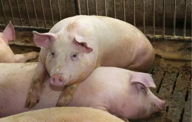 2020年散户养猪的优势尽显,如何把握小猪场还要多下功夫