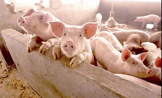 两会建议:对散户也奖补,将仔猪、肉用猪等纳入保险