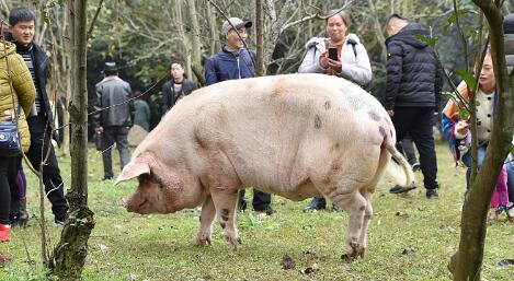 1月29日全国各地区种猪价格报价表,全国种猪价格呈现上涨趋势!