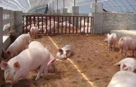1月29日全国生猪价格外三元报价表,东北地区猪价上涨明显,海南重回40元每公斤