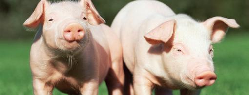 1月30日全国生猪价格土杂猪报价表,今日土杂猪下跌地区增多!