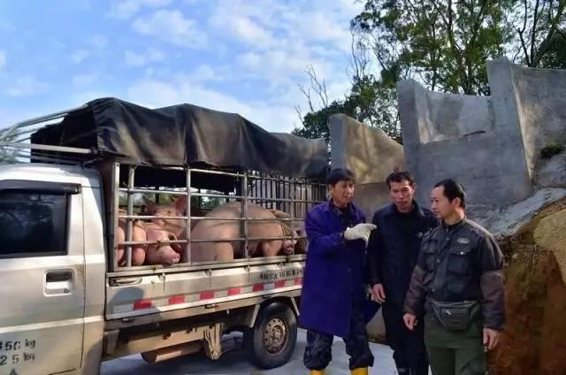 豫西南乡村一贩猪中介:月入过万,每天必询问猪价行情