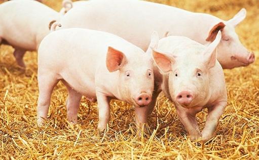 海南省:加强保供稳价,海垦将向市场投放4000头生猪