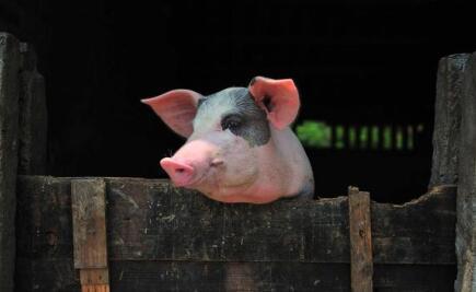 """猪肉""""猪年""""带热猪企 新年已涨出超百亿市值"""