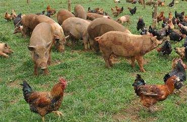 湖北4亿只家禽、1692万头猪,怎么样了?