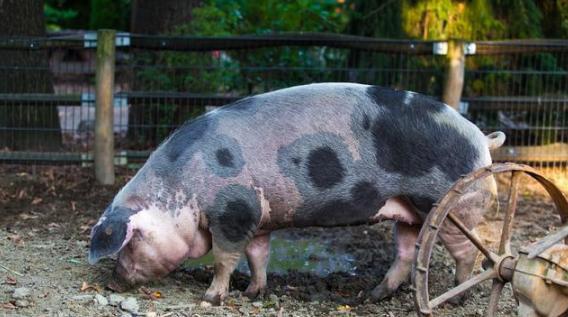 这个小窍门能治疗猪便秘,省钱又省心,你试试