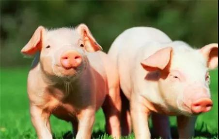 金新农:湖北地区生猪出栏量占10% 尚未受到重大影响