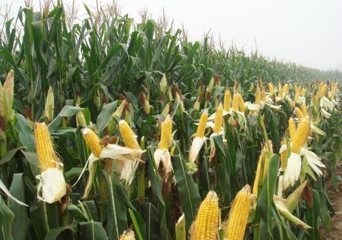 政策粮加码投放 刚飘红的玉米行情又要凉凉了?