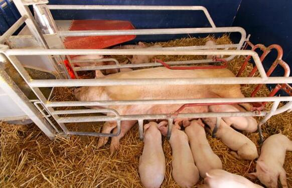 恩诺沙星用的好,轻松对付猪场这6种疾病!学一下