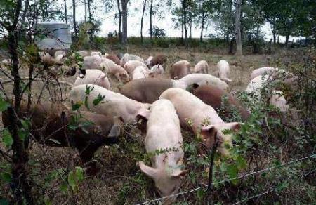 2月7日全国生猪价格土杂猪报价表,今日全国土杂猪价格走势小幅上涨!