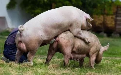 母猪饲养技术:绝大多数母猪不发情的原因?