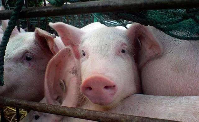 """猪价持续高位运行,到底是""""有价有市"""",还是""""有价无市""""呢?"""