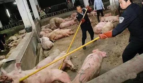 在美国用瘦肉精养猪是合法的,你知道为什么吗?